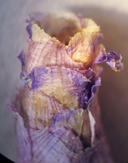 An Osmia avosetta bee cell. Photo courtesy of yahoo images.