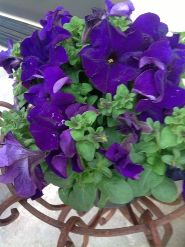 Purple pentunias