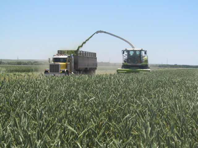 As the cutter is picking up the triticale, it shoots the chopped up plants into a truck that is riding alongside the cutter.