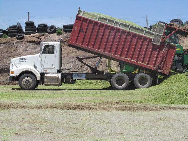 Trucks take the chopped triticale to the silo where they dump their load.