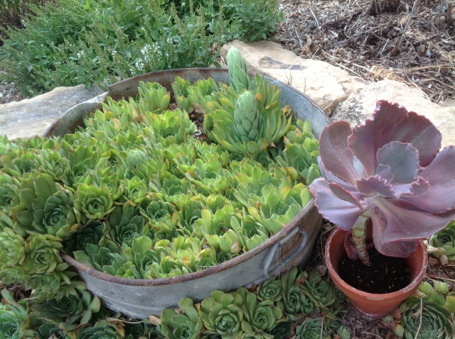 Gram's Hen and Chicks still in the original tub that she grew them in.  No idea how old these are but as long as I knew Gram, she grew these.  Who knows...maybe she got her start from her mother?!