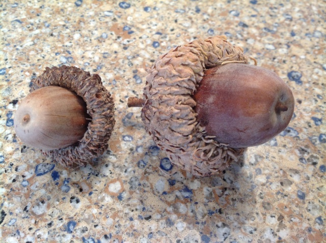 On the left is the 2012 acorn.  On the right, the 2013 acorn.  Doubled in size!!!