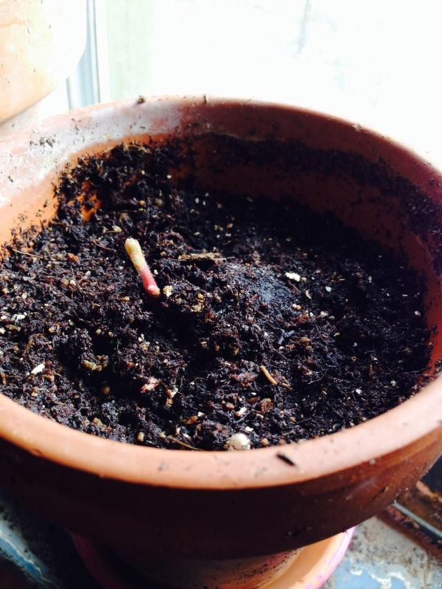 Acorn sprout