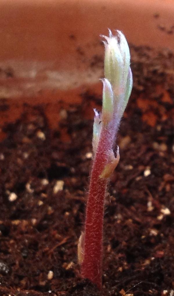 burr oak sprout closeup
