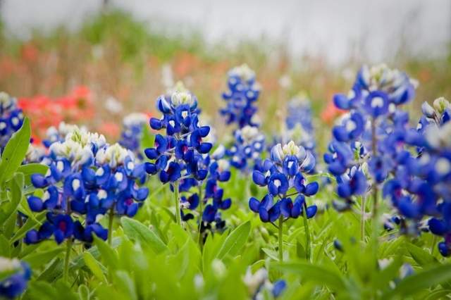 Photo courtesy of Texas Bluebonnet Sightings by Elaine.