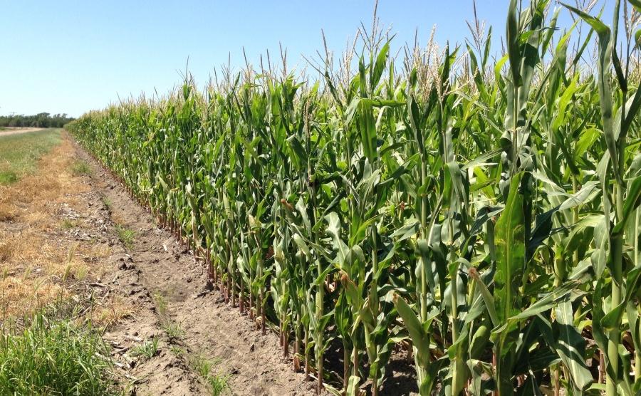 Kansas corn field