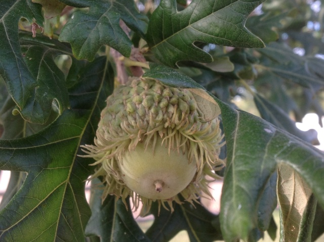 bur oak acorn on tree