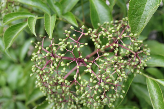 elderberry plants