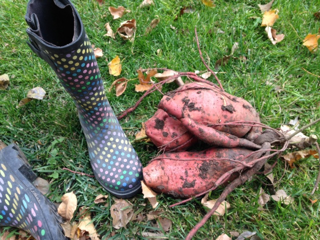giant sweet potatoes