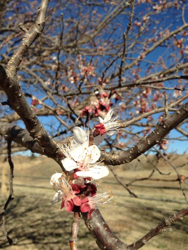 Kansas apricot blooms